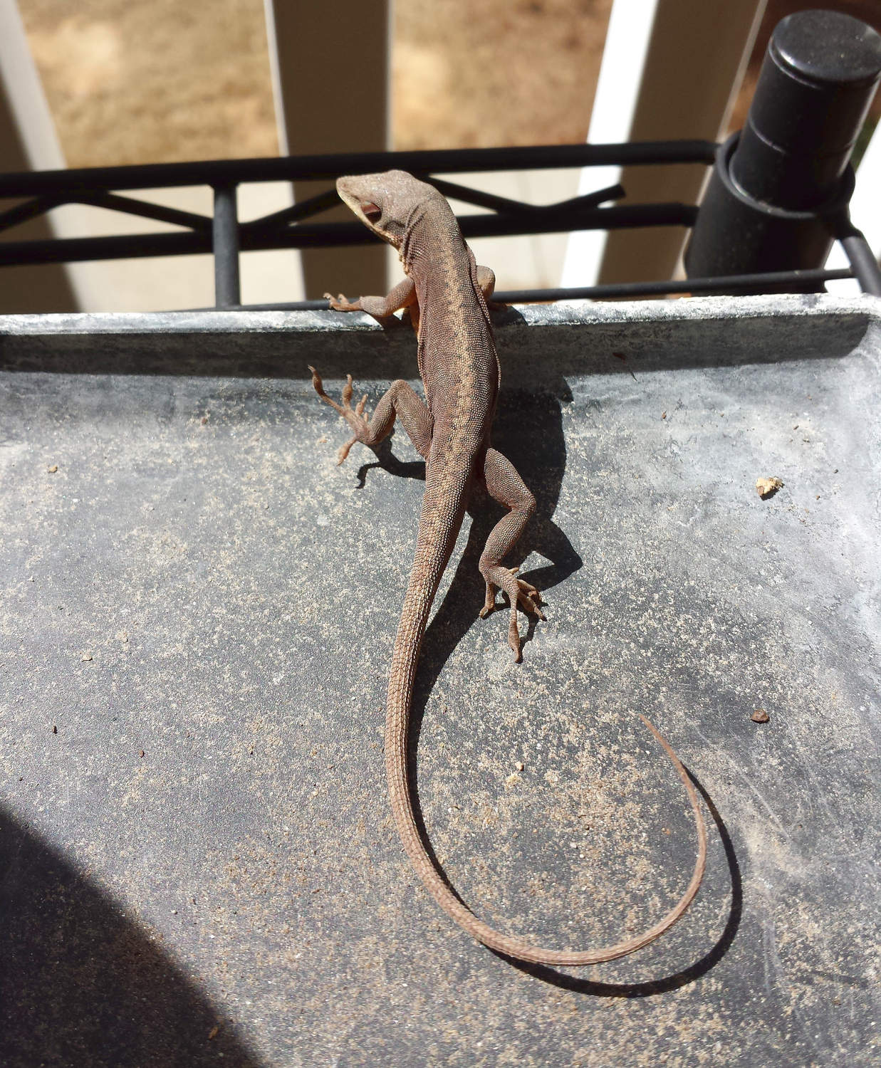 I have a lizard for a neighbor