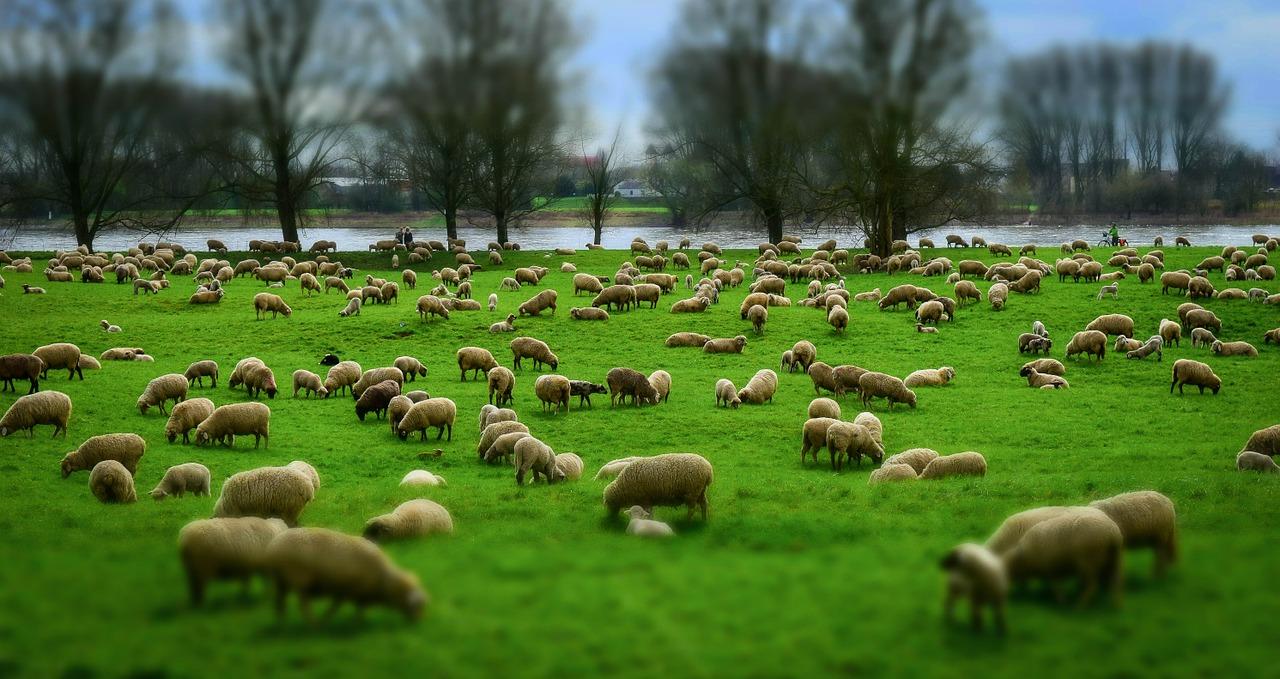 Baa! Moving the sheep during World War I